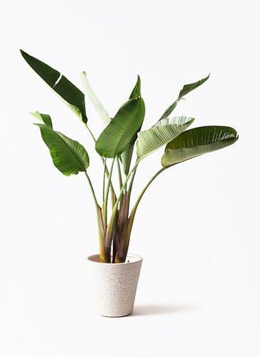 観葉植物 オーガスタ 8号 ビアスソリッド 白 付き