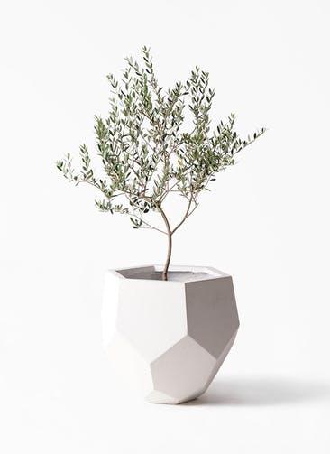 観葉植物 オリーブの木 8号 マンザニロ ポリゴヘクサ 白 付き
