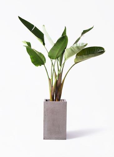 観葉植物 オーガスタ 8号 セドナロング グレイ 付き
