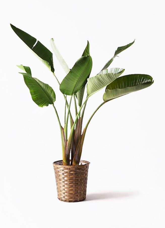 観葉植物 オーガスタ 8号 竹バスケット 付き
