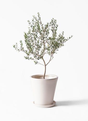 観葉植物 オリーブの木 8号 マンザニロ サブリナ 白 付き
