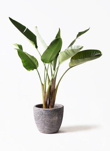 観葉植物 オーガスタ 8号 アビスソニア ミドル 灰 付き