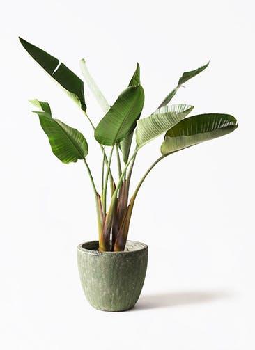 観葉植物 オーガスタ 8号 アビスソニア ミドル 緑 付き