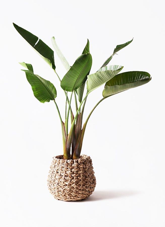 観葉植物 オーガスタ 8号 ラッシュバスケット Natural 付き