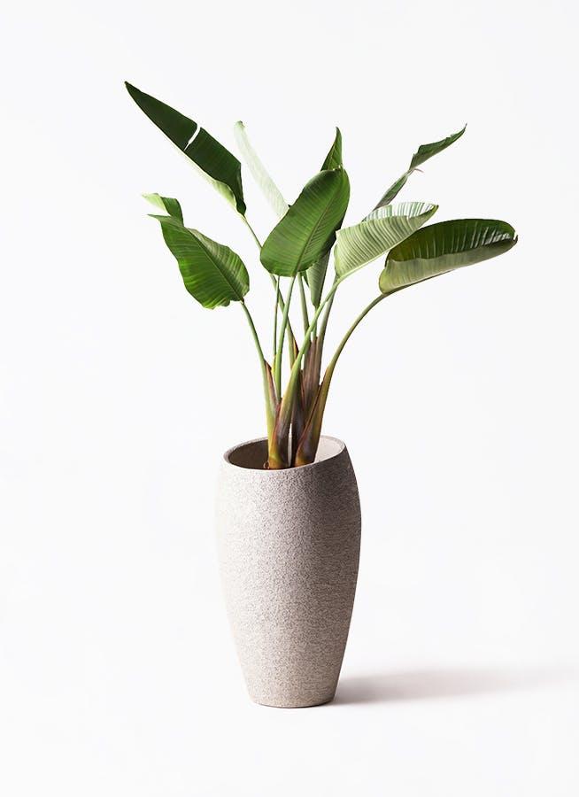 観葉植物 オーガスタ 8号 エコストーントールタイプ Light Gray 付き