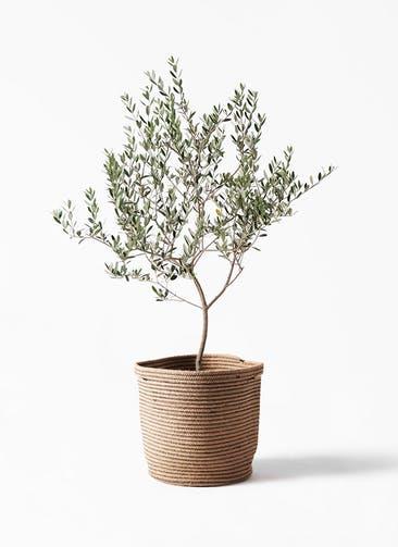 観葉植物 オリーブの木 8号 マンザニロ リブバスケットNatural 付き