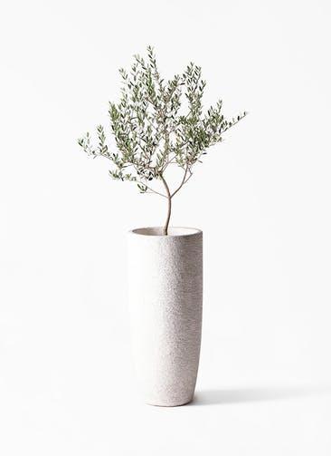 観葉植物 オリーブの木 8号 マンザニロ エコストーントールタイプ white 付き