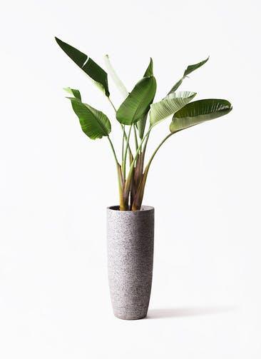 観葉植物 オーガスタ 8号 エコストーントールタイプ Gray 付き