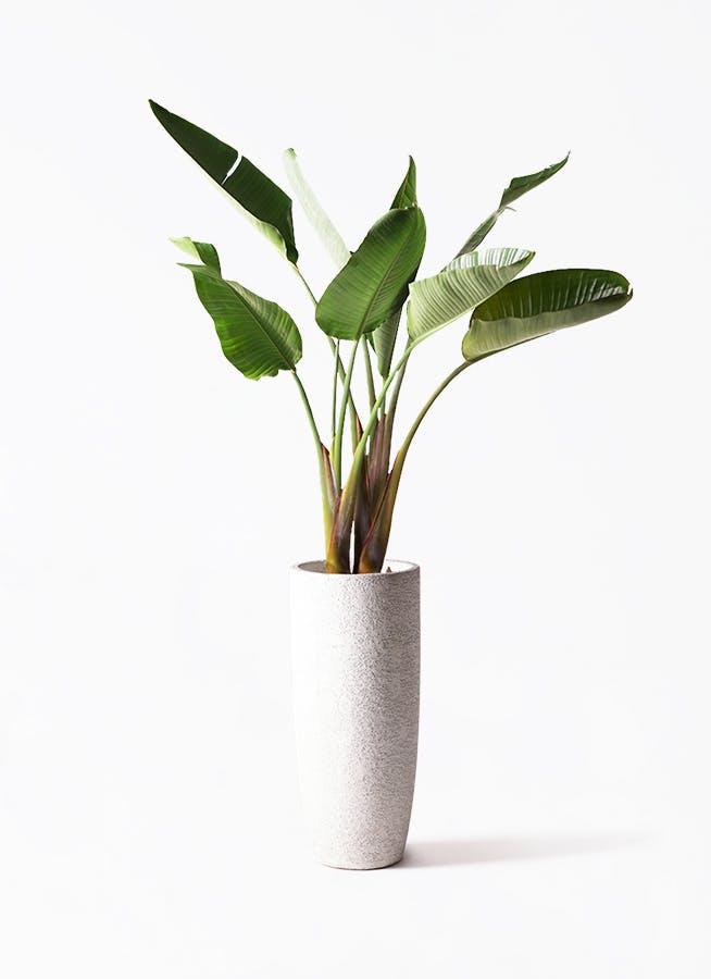 観葉植物 オーガスタ 8号 エコストーントールタイプ white 付き