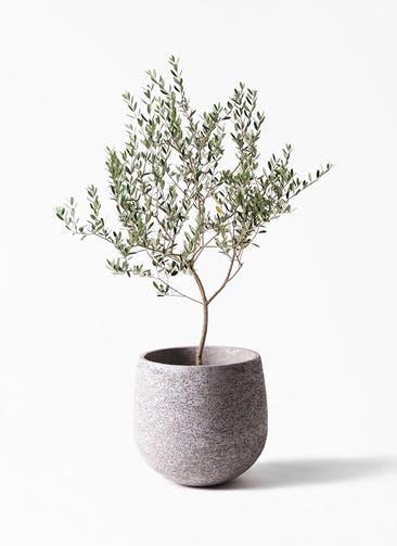 観葉植物 オリーブの木 8号 マンザニロ エコストーンGray 付き