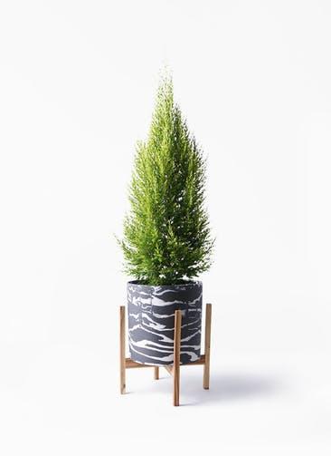 観葉植物 ゴールドクレスト 8号 ノーマル ホルスト シリンダー マーブル ウッドポットスタンド付き