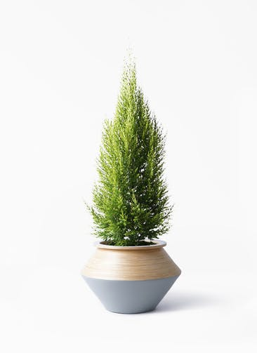 観葉植物 ゴールドクレスト 8号 ノーマル アルマジャー グレー 付き
