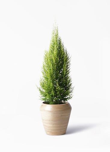 観葉植物 ゴールドクレスト 8号 ノーマル アルマ ミドル 付き