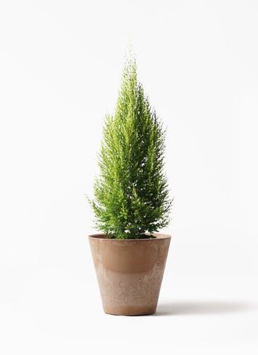 観葉植物 ゴールドクレスト 8号 ノーマル アートストーン ラウンド ベージュ 付き