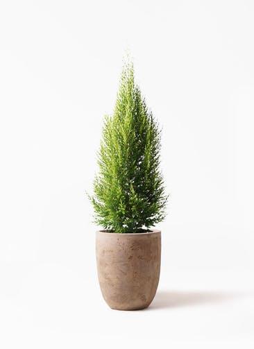 観葉植物 ゴールドクレスト 8号 ノーマル ルーガ アンティコ アルトエッグ 付き