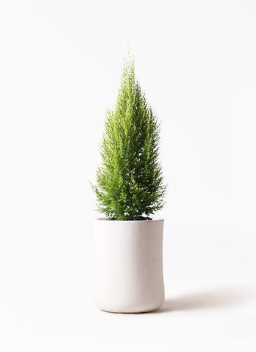 観葉植物 ゴールドクレスト 8号 ノーマル バスク ミドル ホワイト 付き