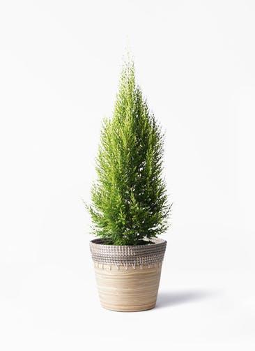 観葉植物 ゴールドクレスト 8号 ノーマル アルマ コニック 白 付き