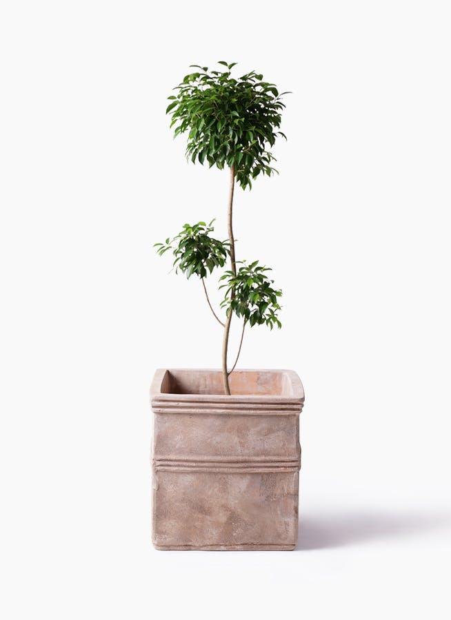 観葉植物 フィカス ベンジャミン 8号 チラシ テラアストラ カペラキュビ 赤茶色 付き