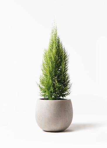 観葉植物 ゴールドクレスト 8号 ノーマル テラニアス ローバルーン アンティークホワイト 付き