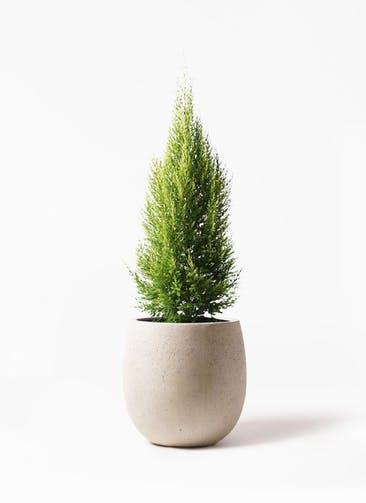 観葉植物 ゴールドクレスト 8号 ノーマル テラニアス バルーン アンティークホワイト 付き