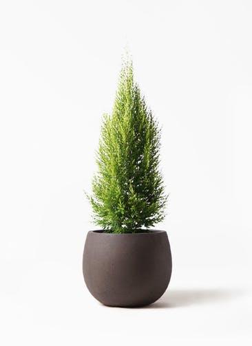 観葉植物 ゴールドクレスト 8号 ノーマル テラニアス ローバルーン アンティークブラウン 付き