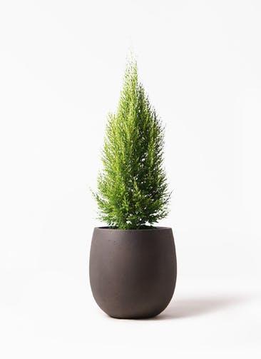 観葉植物 ゴールドクレスト 8号 ノーマル テラニアス バルーン アンティークブラウン 付き