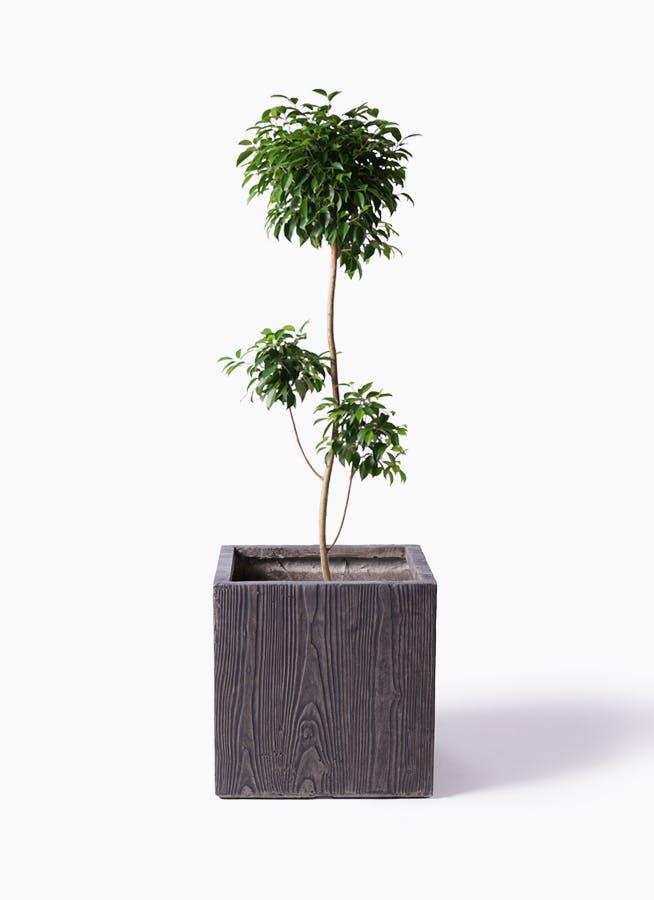 観葉植物 フィカス ベンジャミン 8号 チラシ ベータ キューブプランター ウッド 茶 付き