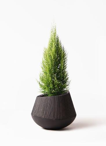 観葉植物 ゴールドクレスト 8号 ノーマル エディラウンド 黒 付き