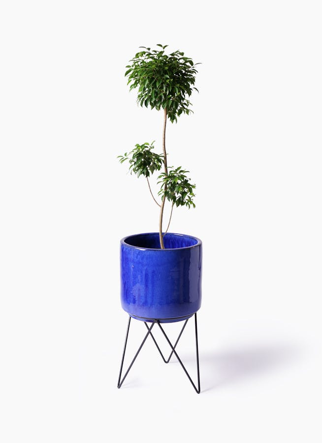 観葉植物 フィカス ベンジャミン 8号 チラシ ビトロ エンデカ ブルー アイアンポットスタンド ブラック 付き
