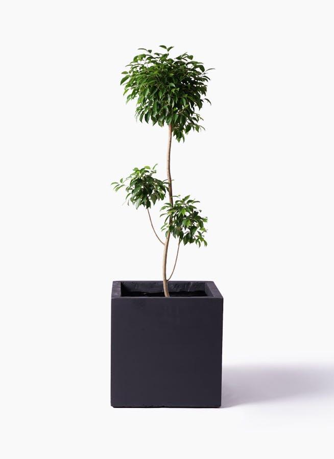 観葉植物 フィカス ベンジャミン 8号 チラシ ベータ キューブプランター 黒 付き