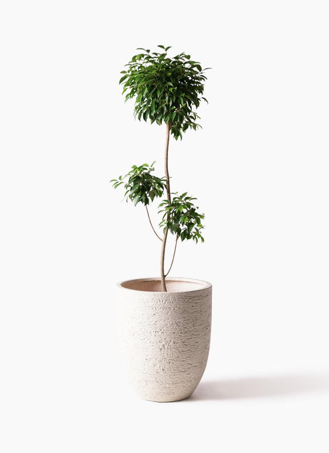 観葉植物 フィカス ベンジャミン 8号 チラシ ビアスアルトエッグ 白 付き