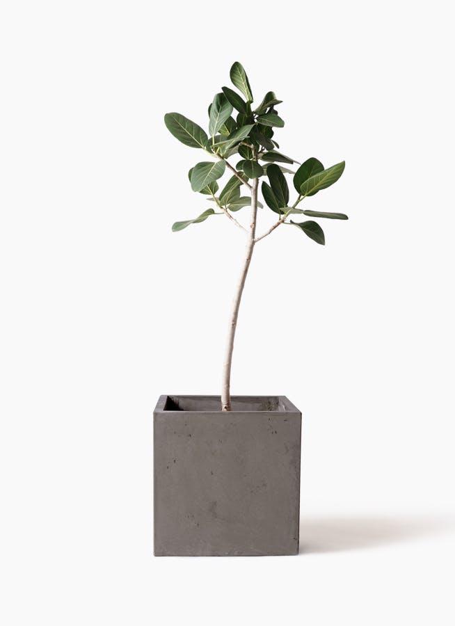 観葉植物 フィカス ベンガレンシス 8号 ストレート コンカー キューブ 灰 付き