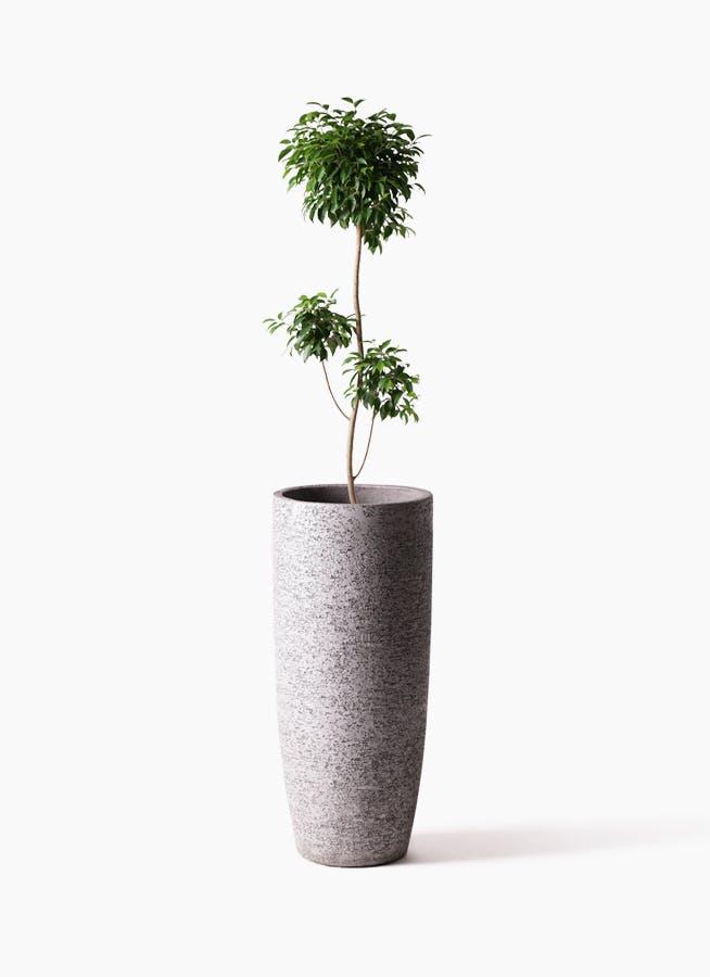 観葉植物 フィカス ベンジャミン 8号 チラシ エコストーントールタイプ Gray 付き