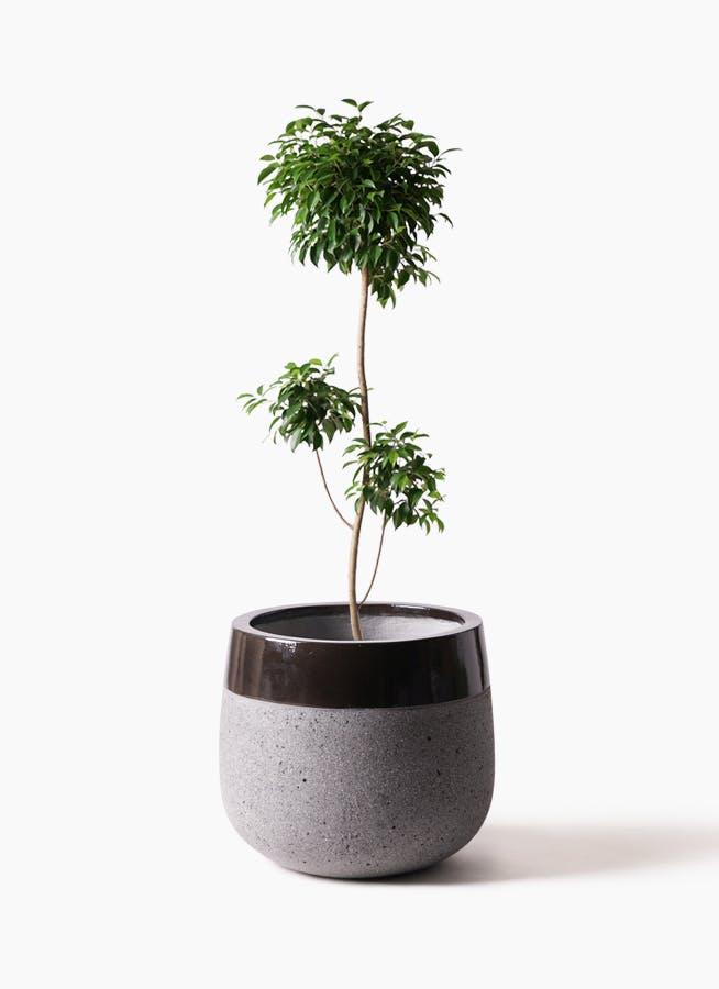 観葉植物 フィカス ベンジャミン 8号 チラシ ファイバーストーンタウルス 黒 付き