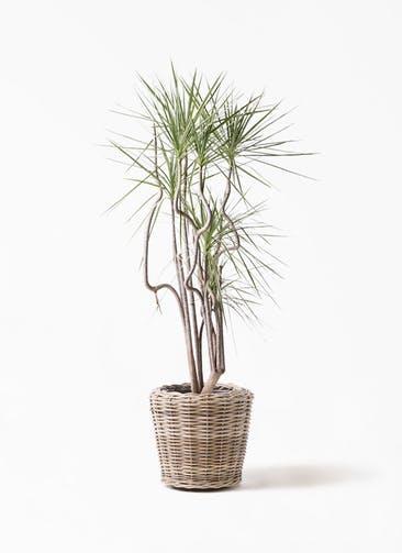 観葉植物 コンシンネ ホワイポリー 8号 曲り モンデリック ラタン 付き