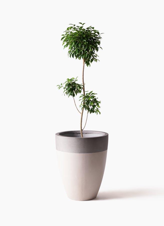 観葉植物 フィカス ベンジャミン 8号 チラシ ファイバーストーンカプリ サンディホワイト 付き