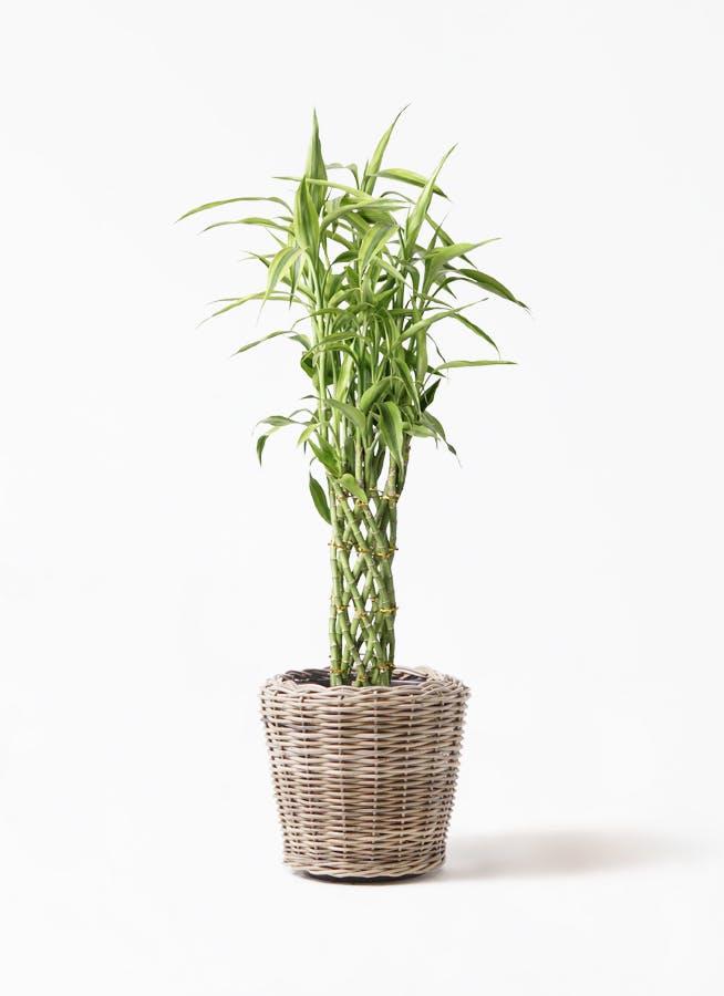 観葉植物 ドラセナ ミリオンバンブー(幸運の竹) 8号 モンデリック ラタン 付き