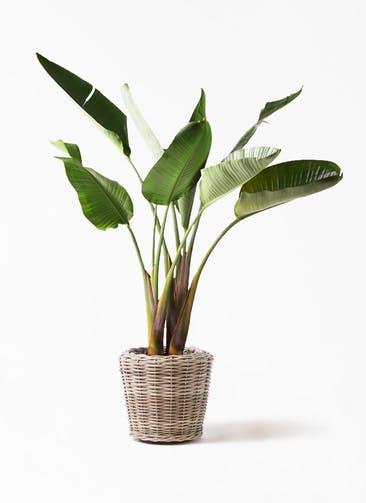 観葉植物 オーガスタ 8号 モデリック ラタン 付き