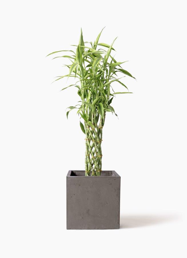観葉植物 ドラセナ ミリオンバンブー(幸運の竹) 8号 コンカー キューブ 灰 付き