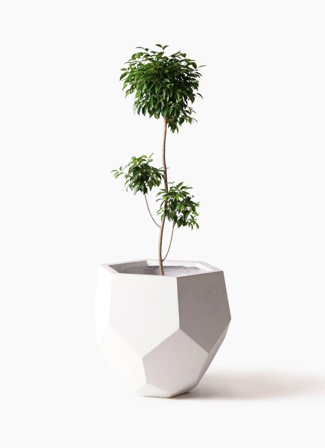 観葉植物 フィカス ベンジャミン 8号 チラシ ポリゴヘクサ 白 付き