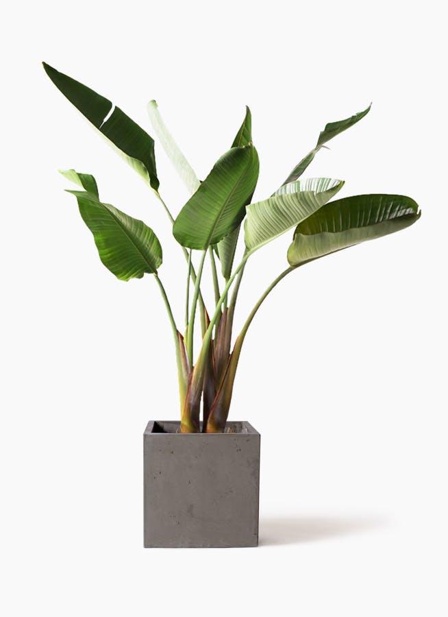 観葉植物 オーガスタ 8号 コンカー キューブ 灰 付き