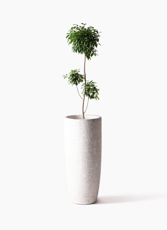 観葉植物 フィカス ベンジャミン 8号 チラシ エコストーントールタイプ white 付き