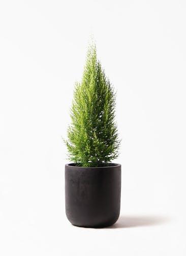 観葉植物 ゴールドクレスト 8号 ノーマル エルバ 黒 付き