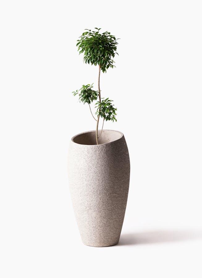 観葉植物 フィカス ベンジャミン 8号 チラシ エコストーントールタイプ Light Gray 付き