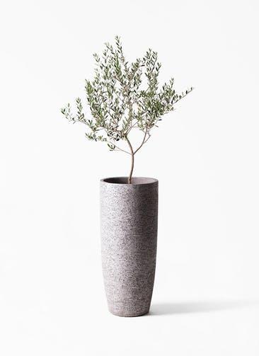 観葉植物 オリーブの木 8号 マンザニロ エコストーントールタイプ Gray 付き