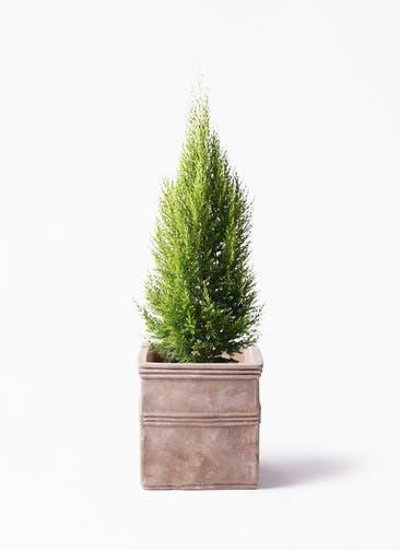 観葉植物 ゴールドクレスト 8号 ノーマル テラアストラ カペラキュビ 赤茶色 付き