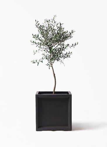 観葉植物 オリーブの木 7号 創樹 ブリティッシュキューブ 付き