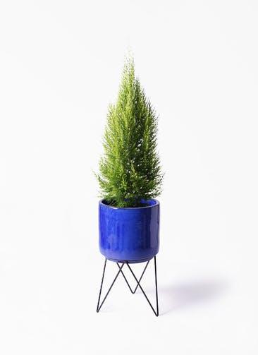 観葉植物 ゴールドクレスト 8号 ノーマル ビトロ エンデカ ブルー アイアンポットスタンド ブラック 付き