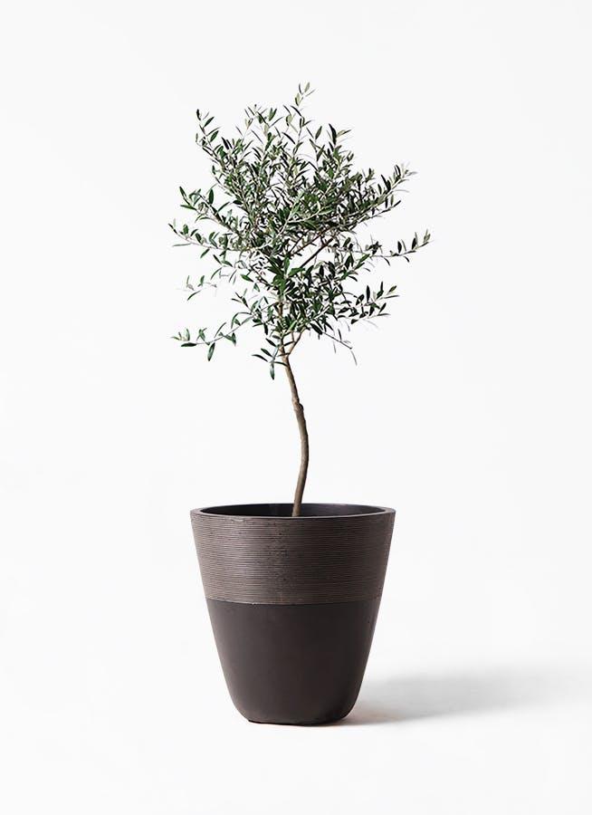 観葉植物 オリーブの木 7号 創樹 ジュピター 黒 付き
