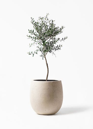 観葉植物 オリーブの木 7号 創樹 テラニアス バルーン アンティークホワイト 付き